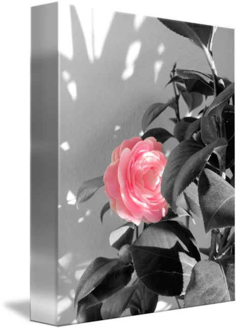 """""""Pink+Camellia+Flower+and+Shadow""""+by+Vivien+Jane+C,+Rome+//+Beautiful+pink+camellia.+Original+photograph+taken+in+Italy.+//+Imagekind.com+--+Buy+stunning+fine+art+prints,+framed+prints+and+canvas+prints+directly+from+independent+working+artists+and+photographers."""