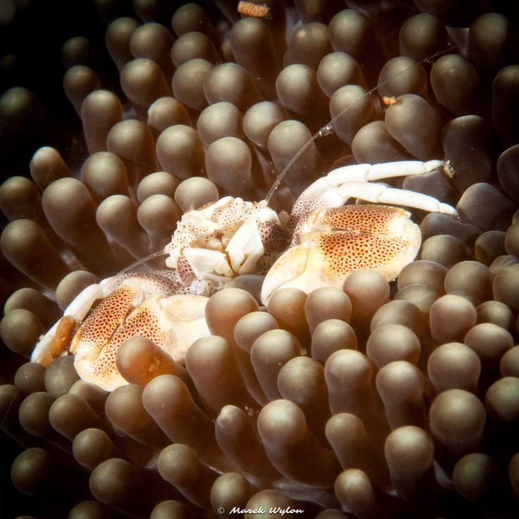 Spiny Porcelain Crab | Raja Ampat | 2009.10.24  Title: Spiny Porcelain Crab Location: Raja Ampat Camera: NIKON D300 Lens: AF-S Micro Nikkor 60mm f/2.8G ED Settings: 1/250 f/20 ISO200 Housing: Subal ND300 Strobes: 2 x Subtronic Pro270  http://marek.wylon.com