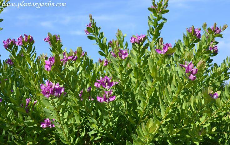 Polygala myrtifolia o Lechera del Cabo, arbusto florífero para jardines costeros