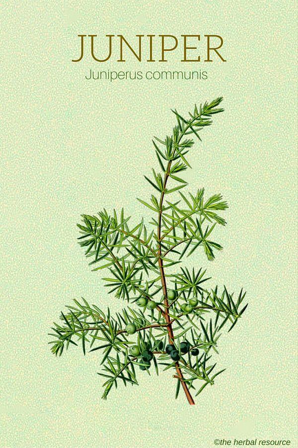 The Herb Juniper (Juniperus communis)