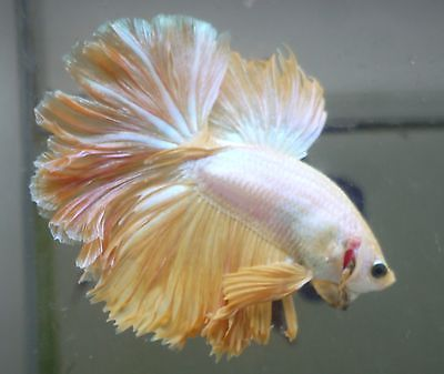 316 best images about betta fish on pinterest auction for What kind of fish can live with a betta