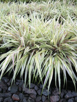17 best images about garden ornamental grasses on for Tall oriental grass