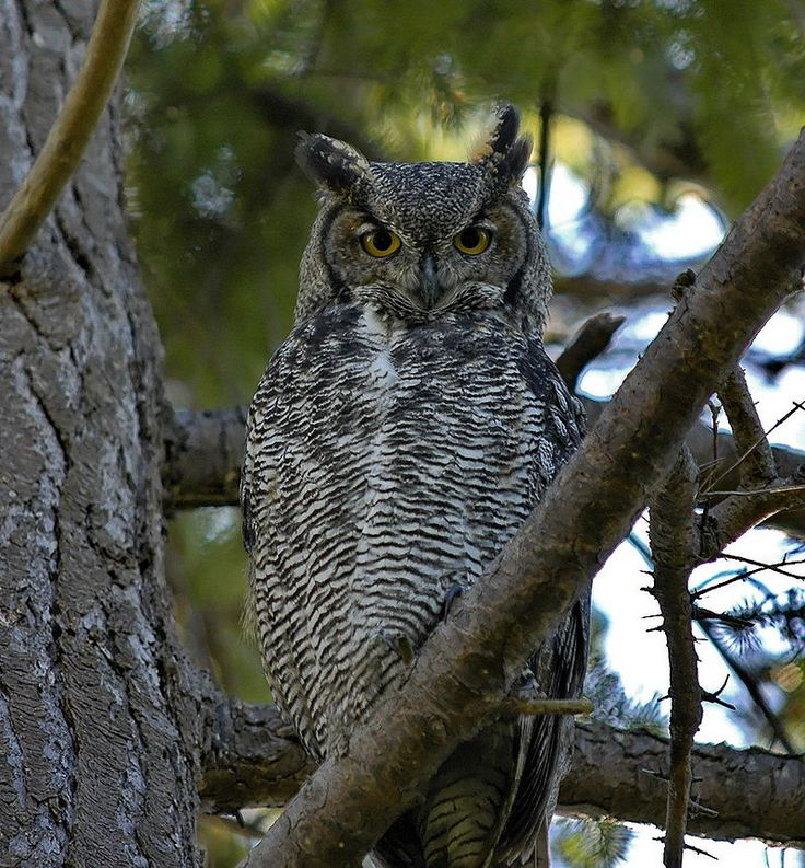 Great horned owl - Wikipedia, the free encyclopedia