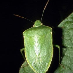 green stink bug & organic controls