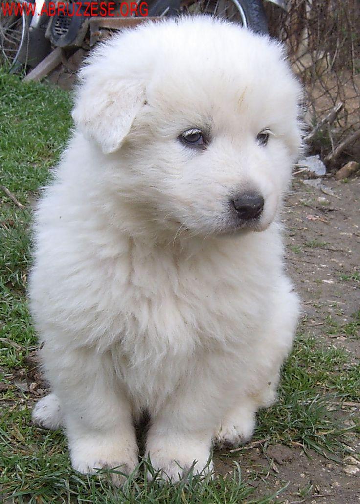 Abruzzese Shepherd Dog