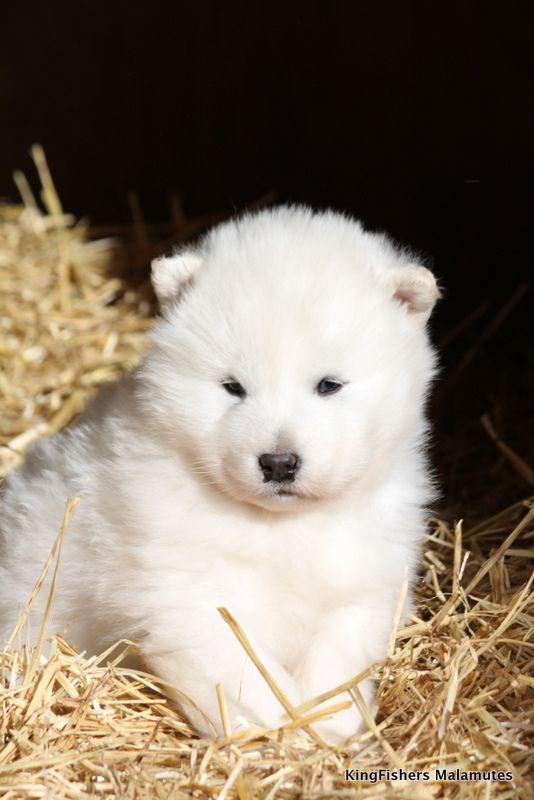 White Alaskan malamute puppy