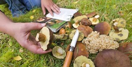 Waldpilze nur nach Bestimmung durch Experten essen: identifying mushroom