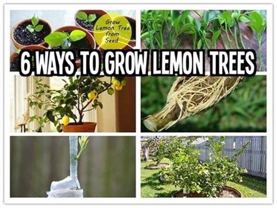 Wonderful diy 6 ways to grow lemon trees trees grow for Can i grow a lemon tree from lemon seeds