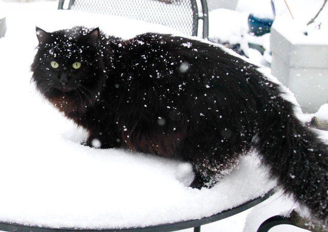 black Norwegian Forest Cat                                                                                                                                                                                 More