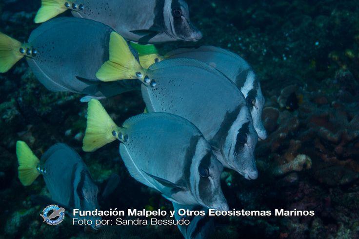 (Prionurus laticlavius) Cochinito barbero. SFF Malpelo.