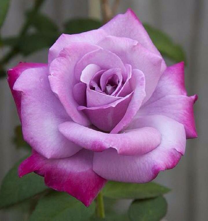 Two tone rose