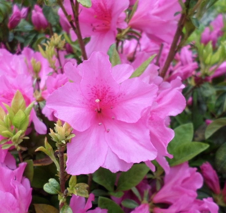 Swimming pool landscaping ideas - these colorful azaleas begin the cascade of color around our swimming pool.