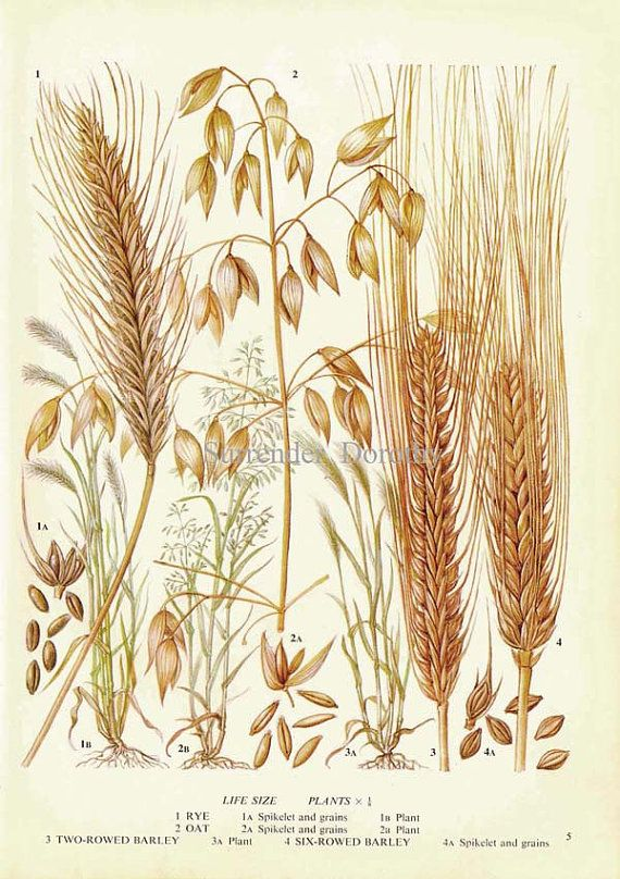 Rye Oat & Barley Cereal Grain Food Chart by SurrenderDorothy, $10.89