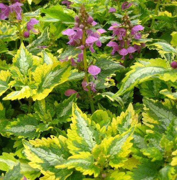 71 best images about perennials ground cover on pinterest for Perennial ground cover plants for sun