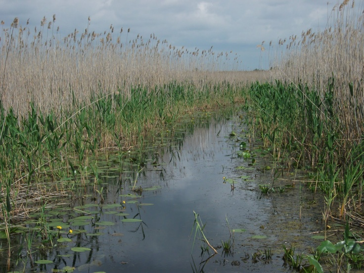 Reed beds of the Danube Delta