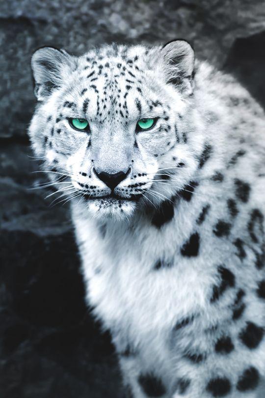 "vividessentials: ""   Snow Leopard Portrait  | vividessentials """