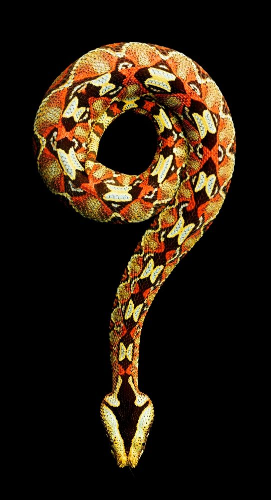 Rhinoceros viper (Bitis nasicornis)  is a venomous viper species found in the forests of West and Central Africa. A big viper, it is known for its striking color pattern and has a distinctive set of two or three horn-like scales on the end of the nose, the front pair of which may be quite long.  Large and stout, it ranges in total length (body + tail) from 72 to 107 cm.