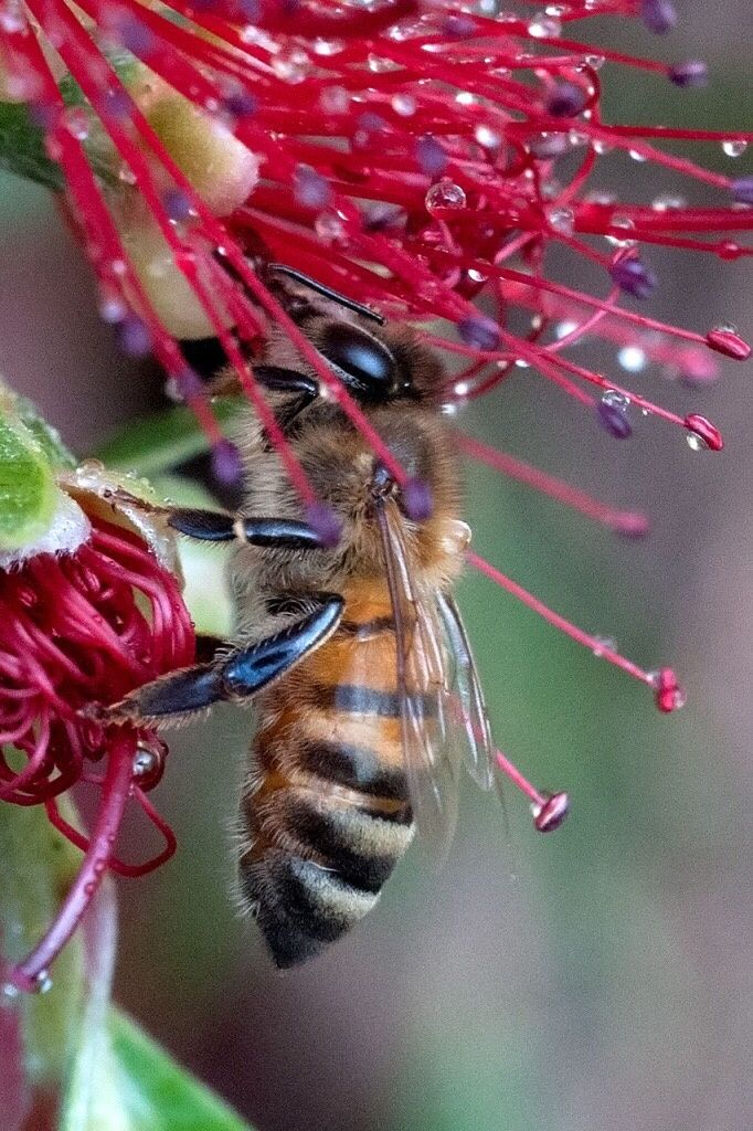A Bee ~ Pollinating A Bottle Cleaner Flower.