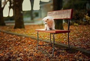собака, щенок, акита-ину, осень, скамейка, листья