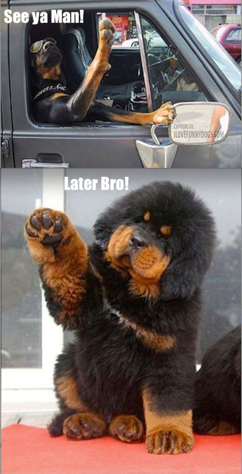 Good Funny Canine Adorable Dog - 08ede1578a783bbb322e465543a444bd--tibetan-mastiff-puppies-mastiff-dogs  Pictures_949617  .jpg