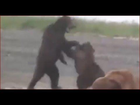 Медведь Что делать при встрече рыбалка охота тайга лес природа в поход п...