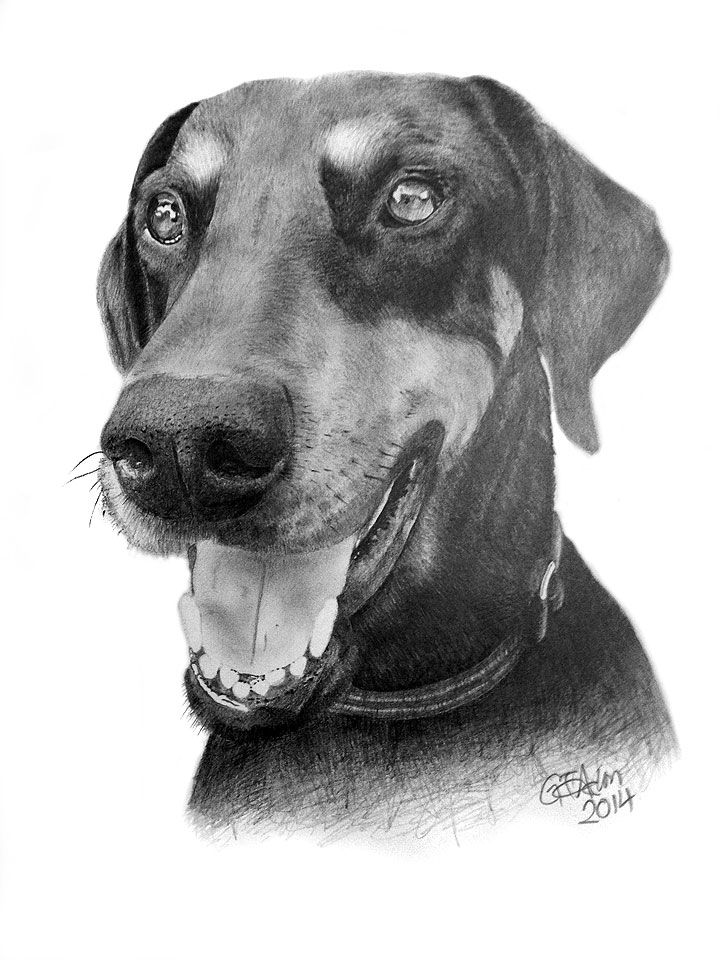 """Pencil drawing of a dog - """"Shady"""" the doberman, who sadly had to be put to sleep"""