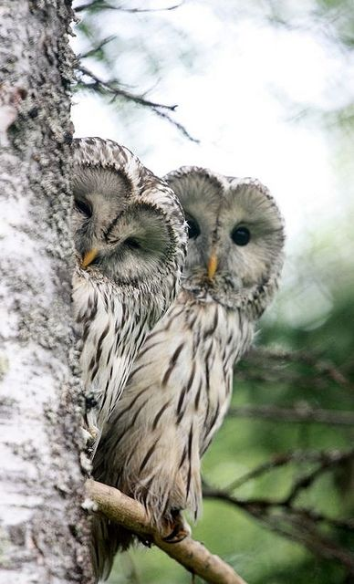 A pair of Ural owls (Strix uralensis)
