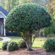 Holly - Nellie R. Stevens Holly - low-maintenance plant ...