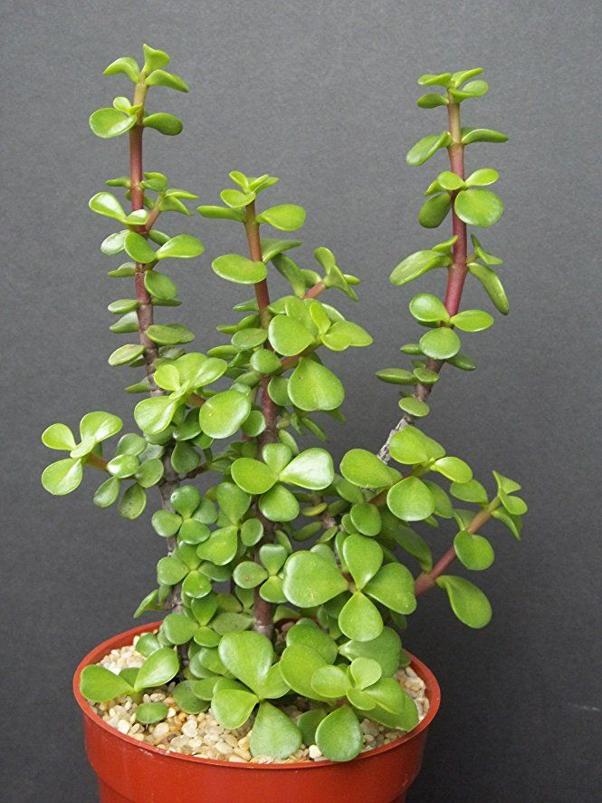 "PORTUCALARIA AFFRA Green rare elephant bush mini jade tree bonsai 4"" plant"