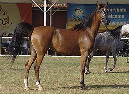 Cavalo Arabe REFON.jpg