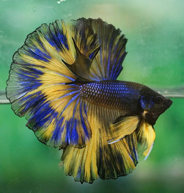 17 best images about its a wet life on pinterest deep for Rare betta fish
