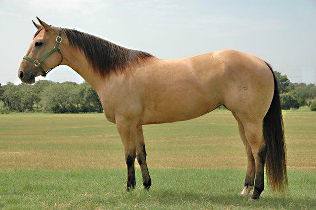 Golden Buckskin Horse | BRAZILE QUARTER HORSES - For Sale - Performance Horses - PAGE ONE