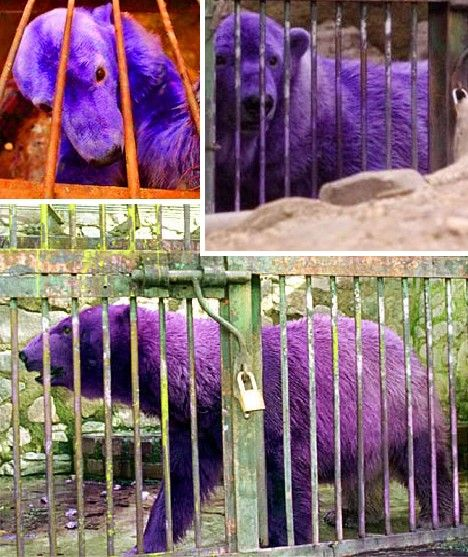 Grape Friends: 10 Amazing Purple Animals - WebEcoist.  Medication has turned his coat this color and it is only temporary.