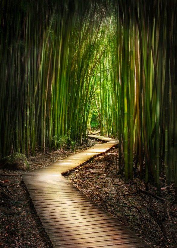 Bamboo Forest, Island of Maui, Hawaii