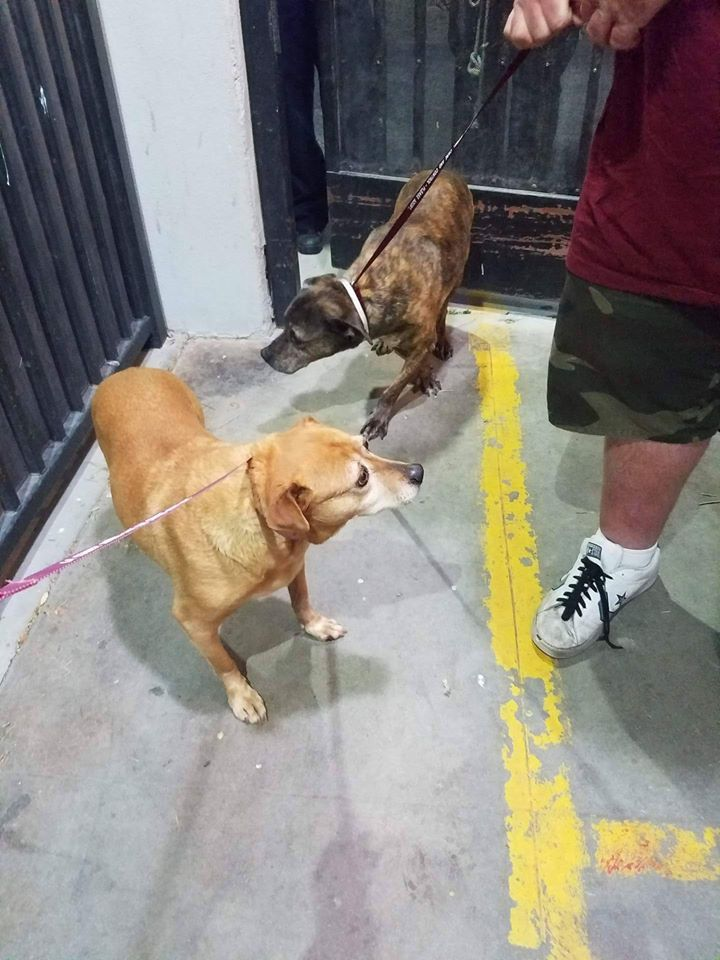"""SAFE!!! Less than one week ago in Lancaster, California, a heartless owner arrived at an open admissions shelter, dragging a pair of bonded seniors behind him he called """"just junkyard dogs."""" And to make the frightening ordeal even worse for the two pooches, the owner couldn't even find it in his heart to leave the dogs' …"""