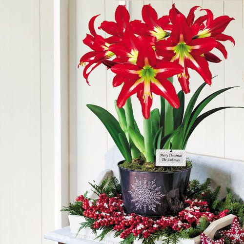 28 Best Images About Growing Amaryllis On Pinterest Grow