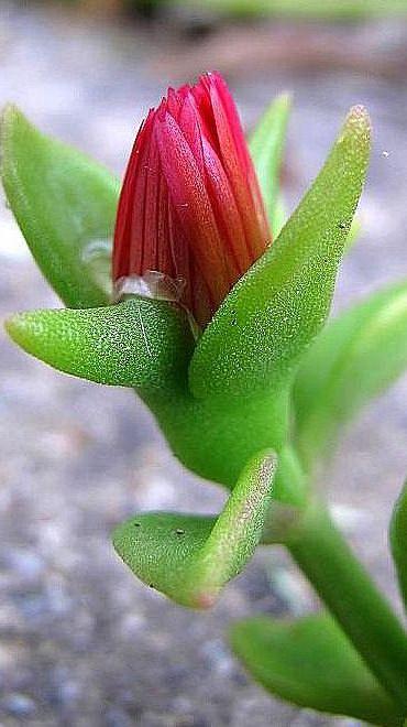Dikensiz Kaktüsler diye bilinseler de Sukulentler üzerlerinde su tutma kabiliyeti yüksek dolgun, etli bitki türleridir. Sukulentler kaktüs türünü kapsar. Kış bahçelerine göre soğuğa dayanıklı ve tr…