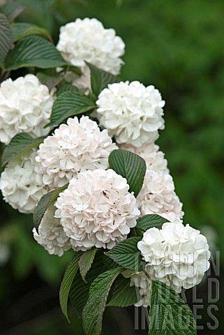 Viburnum plicatum 'Rosacea'
