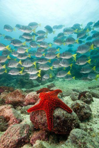 Estrela do mar vermelha e cirurgião do mar da cauda amarela.