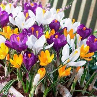 Dutch Crocus Bulbs Mix, Crocus vernus and Crocus flavus - Fall Bulbs from American Meadows
