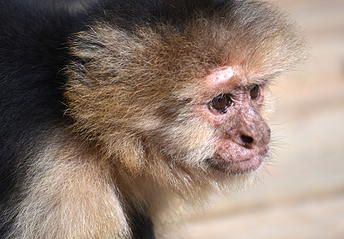 Noah's Ark Primates - Sabrina is a white faced capuchin (Cebus capucinus) who came to Noah's Ark in 1996 at just two years of age.