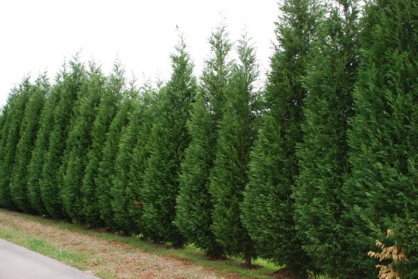Leyland Cypress - great privacy tree, grows 3 - 5 feet a year, feathery soft needle texture, drought tolerant, can grow well in most well-drained soils, zones 6 - 10, evergreen, full or part sun, spread is 1/4 of the height, grows in a uniform, symmetrical shape but can be pruned to any shape, prune early and often, so they don't get too big, trim sides in July, when it's reached the height you want, prune the leader branch a few inches to stop upward growth, space 6 ' apart