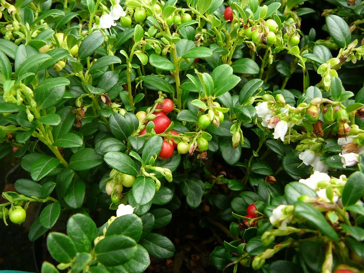 Vaccinium vitis idaea 'Red Candy' / vossebes
