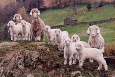 friendly angora goats