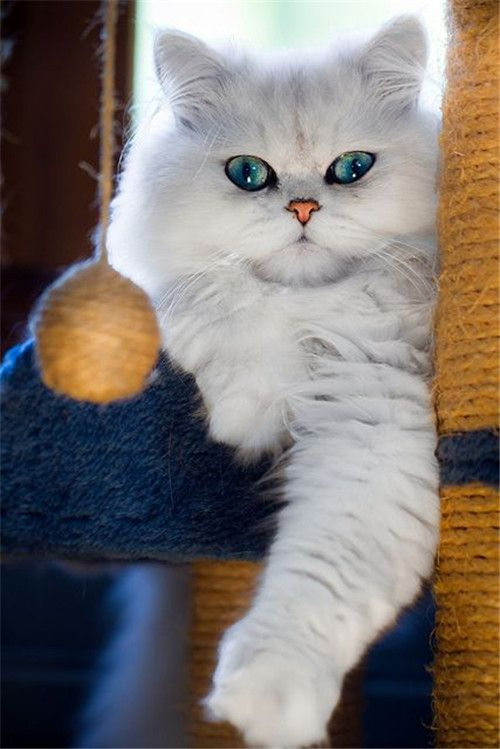 Beautiful White Persian Cat | http://fallinpets.com/persian-cat-kittens-will-melt-your-heart/