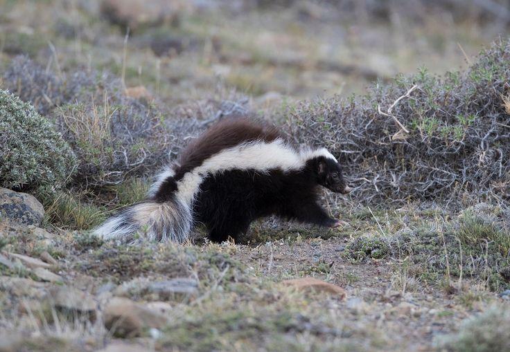 South American Skunk - South American skunk in Torres del Paine National Park.