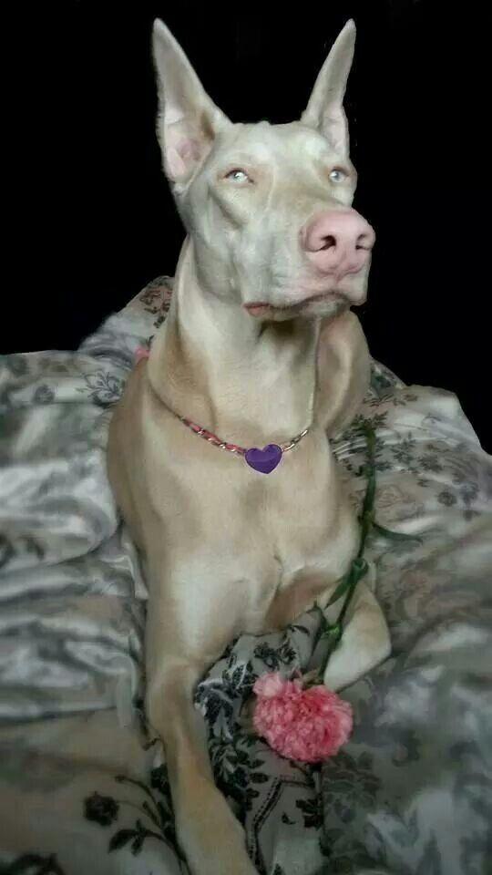 Rare Beauty   Doberman