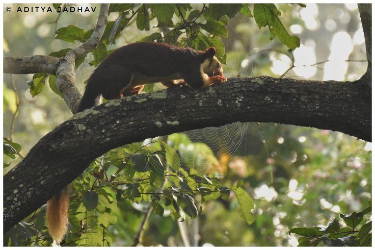 Giant squirrel, malabar giant squirrel, kabini national park, jungle