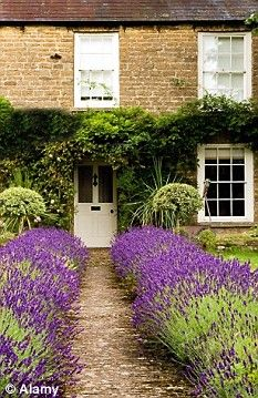 Lavender to lead the way!! What a beautiful, Charming, and romantic way to walk to your home, or a friends home!!  Be relaxed by the sent and create a air of calm and beauty.