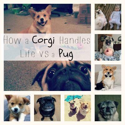 Corgi vs Pug Dogs Personality